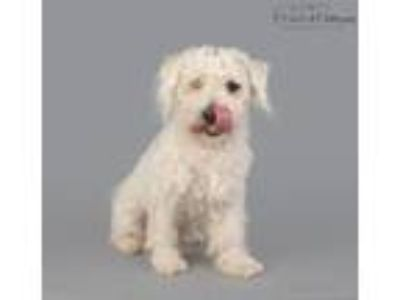 Adopt Brody a Poodle