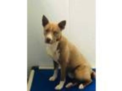 Adopt Max a Brown/Chocolate Husky / American Pit Bull Terrier / Mixed dog in