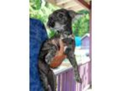 Adopt Matty a Black - with Gray or Silver Poodle (Miniature) / Mixed dog in