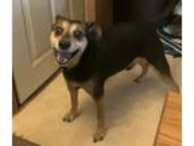 Adopt Rocco a Black - with Tan, Yellow or Fawn Beagle / Hound (Unknown Type) /