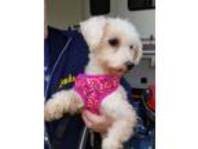 Adopt Willow a Poodle