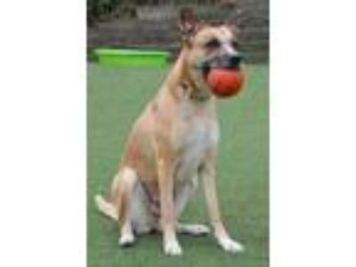 Adopt Lola a Brown/Chocolate German Shepherd Dog / Mixed dog in Cleveland