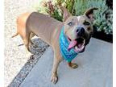 Adopt Scoobz a Tan/Yellow/Fawn American Pit Bull Terrier / Mixed dog in