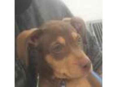 Adopt Prince-86311 a Brown/Chocolate Pit Bull Terrier / Shepherd (Unknown Type)