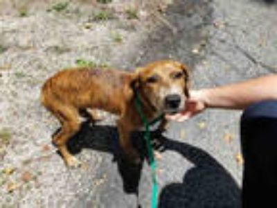 Adopt PARKER a Brindle - with White Plott Hound / Mixed dog in Gainesville