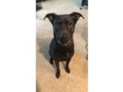 Adopt Ranger a Black Labrador Retriever / Mixed dog in Navarre, FL (24966504)