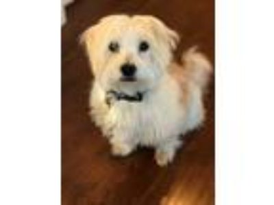 Adopt Mitchell a White - with Tan, Yellow or Fawn Norwich Terrier / Corgi /