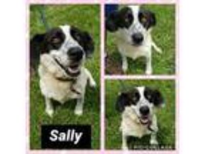 Adopt Sally a Black - with White Beagle / Mixed Breed (Medium) / Mixed dog in