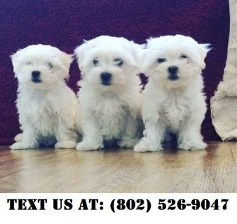 Puppy - For Sale Classifieds in Norman, Oklahoma - Claz org