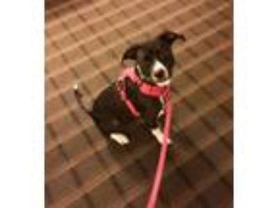 Adopt Ellie Sweetie Pie a Black - with White Boxer / Terrier (Unknown Type