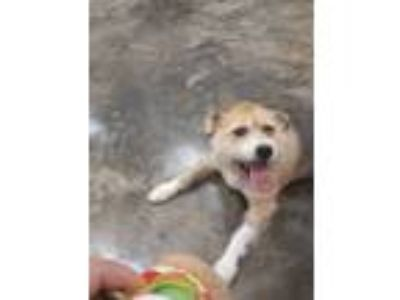 Adopt Bella a Beagle / Terrier (Unknown Type, Medium) / Mixed dog in Osage