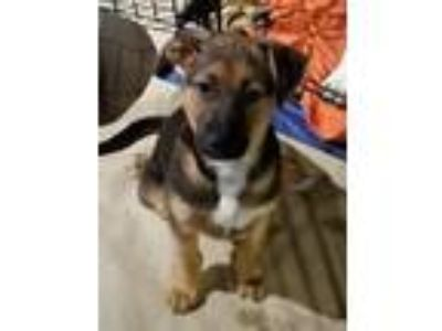 Adopt Benny - In Foster a Shepherd (Unknown Type) / Mixed dog in Columbia