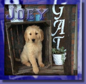 Joey Male AKC Golden Retriever