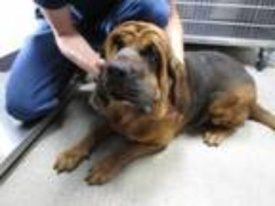 Adopt Lady Bird was Memaw a Bloodhound, Mixed Breed