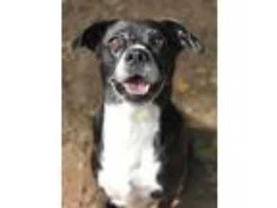 Adopt Hope a Labrador Retriever, Cattle Dog
