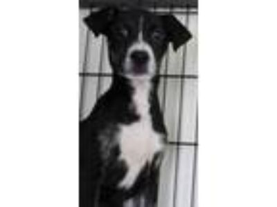 Adopt Dolly a Black - with White Labrador Retriever / Rottweiler dog in Clear