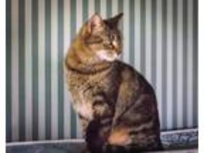 Adopt Cerena a Tabby, Domestic Short Hair
