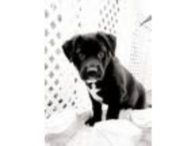 Adopt LANCE a Labrador Retriever, Border Collie