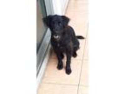Adopt 'TI' a Black Labrador Retriever / Border Collie / Mixed dog in Agoura