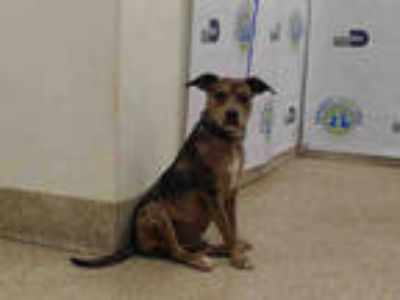 Adopt THE SWEETNESS a Brindle Catahoula Leopard Dog / Mixed dog in Doral