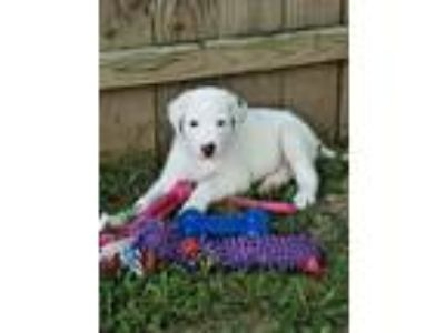Adopt Storm a White German Shepherd Dog / Labrador Retriever / Mixed dog in St.