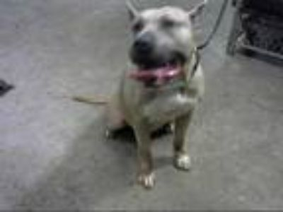 Adopt BOO a Tan/Yellow/Fawn - with White American Pit Bull Terrier / Mixed dog