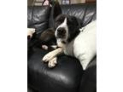 Adopt Beasley a Black - with White Border Collie / Labrador Retriever dog in