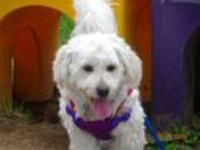 Adopt Max a Poodle, Wheaten Terrier