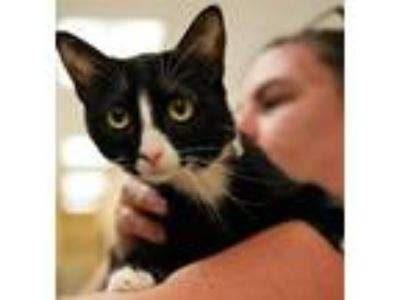 Adopt KIMBERLY a Black & White or Tuxedo American Shorthair / Mixed (short coat)