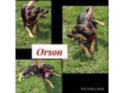 Adopt Orson a Rottweiler, German Shepherd Dog
