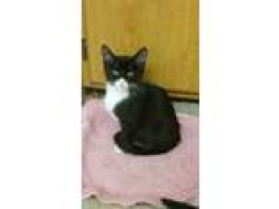 Adopt Roxy a Black & White or Tuxedo American Shorthair (medium coat) cat in