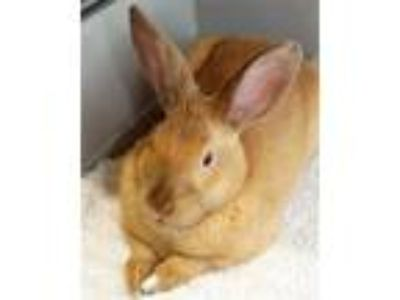 Adopt Percy a Bunny Rabbit