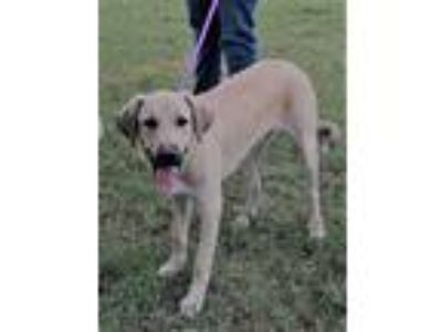 Adopt Larry a White - with Tan, Yellow or Fawn Great Pyrenees / German Shepherd