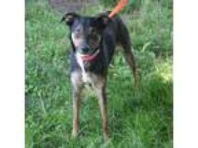 Adopt Mickey a Whippet, Italian Greyhound