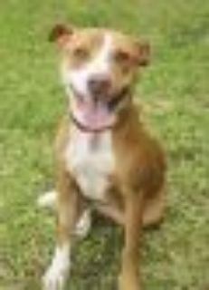 Praline Labrador Retriever - Ibizan Hound Dog