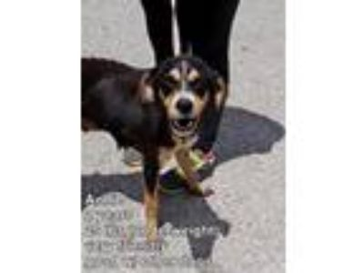 Adopt Annie L a Hound (Unknown Type) / Mixed dog in Homer Glen, IL (25921972)