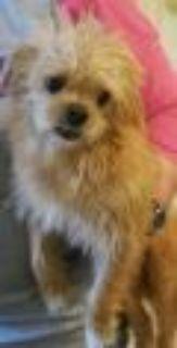 Buffy Terrier - Pekingese Dog