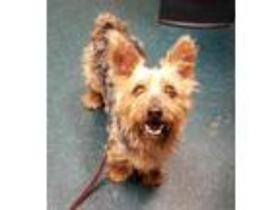 Adopt Henry a Silky Terrier / Mixed dog in Oceanside, CA (25326934)