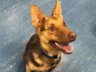 Adopt DAMON a German Shepherd Dog, Mixed Breed