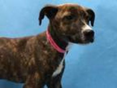 Adopt Cookie a Brindle Terrier (Unknown Type, Small) / Mixed dog in Golden