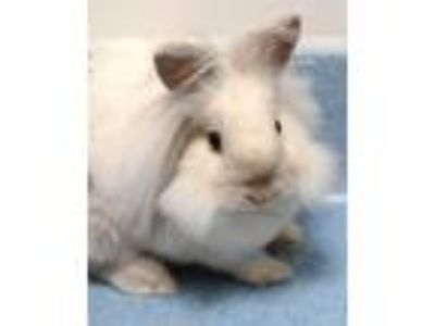 Adopt Pom Pom a Lionhead / Mixed rabbit in Novato, CA (25914304)