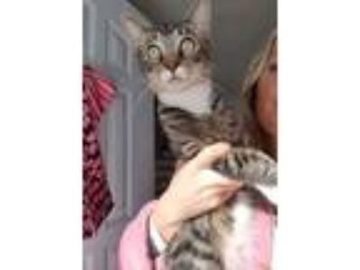 Adopt Salami a Domestic Short Hair