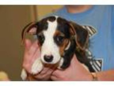 Adopt Cinnamon a White Terrier (Unknown Type, Small) / Basset Hound / Mixed dog