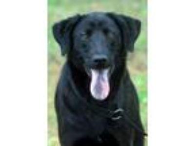 Adopt Nuggett a Black Labrador Retriever