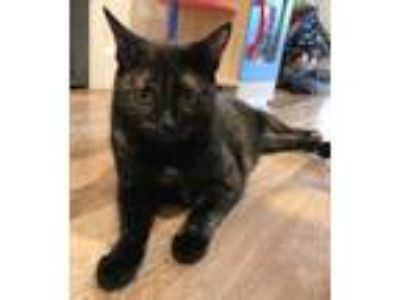 Adopt Pumpkin a Domestic Short Hair