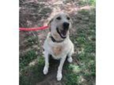 Adopt Sandy a Labrador Retriever / Mixed dog in Covington, GA (25877846)