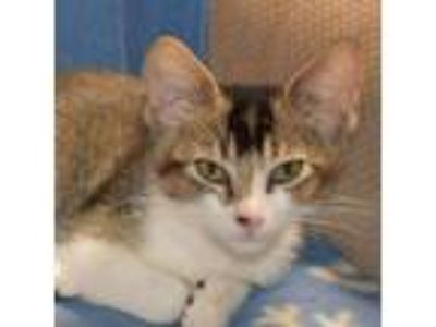 Adopt Sweetie a Domestic Short Hair, Calico