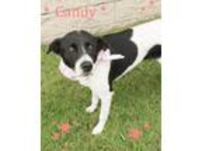 Adopt Candy a White - with Black Retriever (Unknown Type) / Mixed dog in