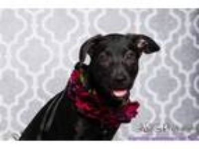 Adopt CAMBRIA a Black Labrador Retriever / Mixed dog in Katy, TX (25682489)