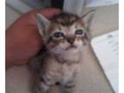 Adopt CAPPUCINO a Brown Tabby Domestic Shorthair / Mixed (short coat) cat in